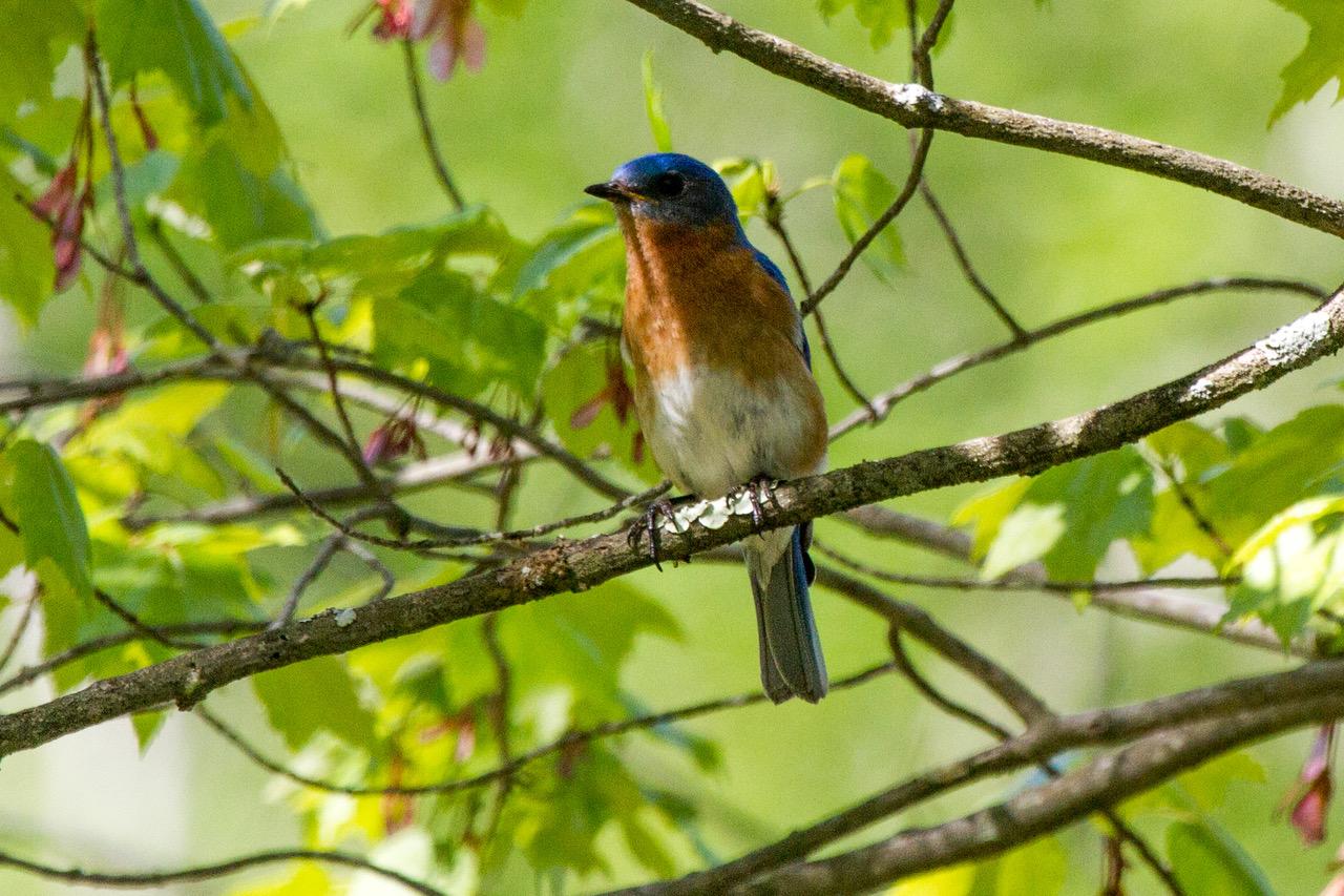 Eastern Bluebird 2