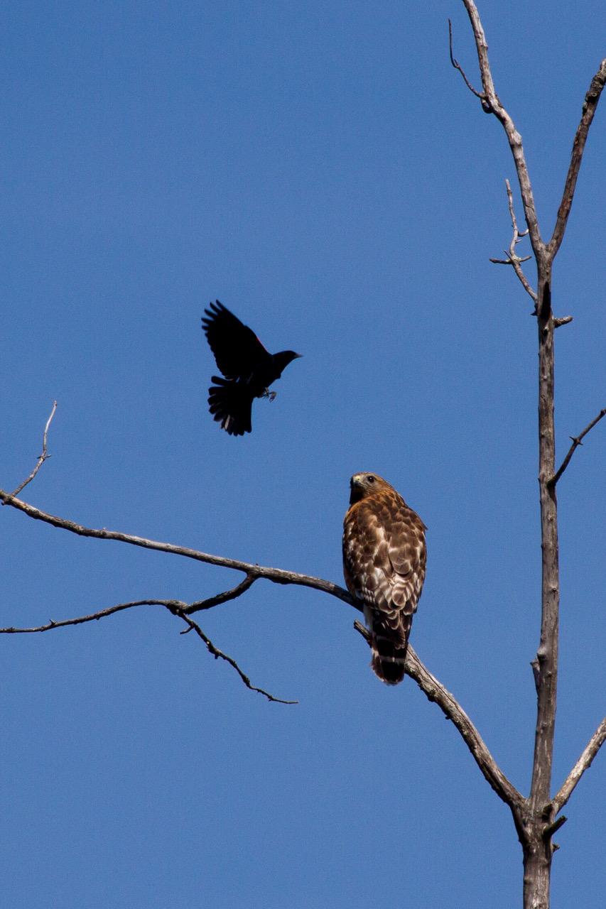 Red-winged Black Bird -vs - Red shouldered Hawk 4