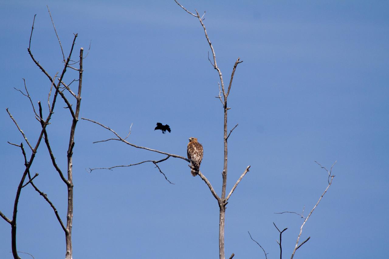 Red-winged Black Bird -vs - Red shouldered Hawk 5