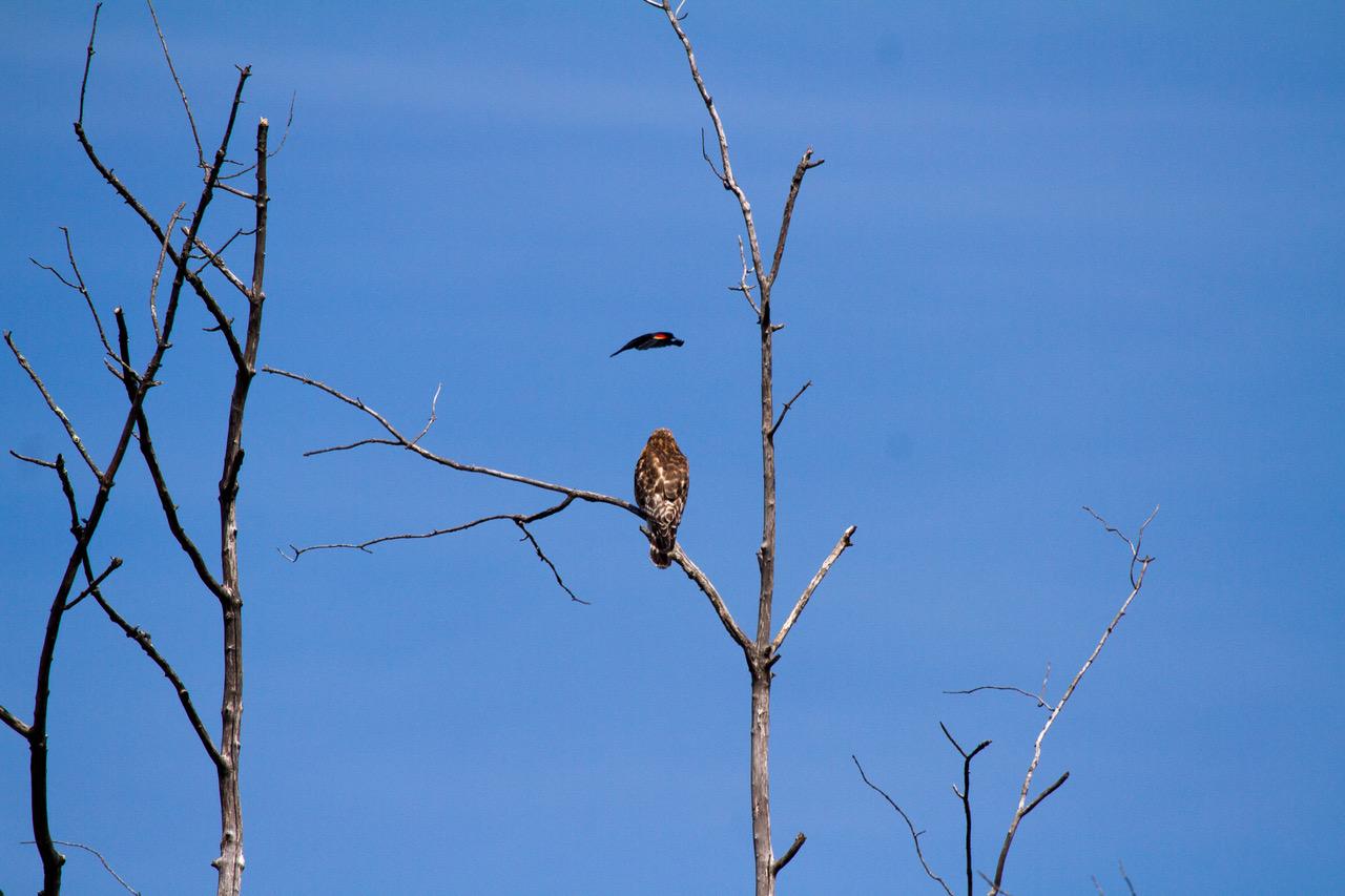 Red-winged Black Bird -vs - Red shouldered Hawk 6