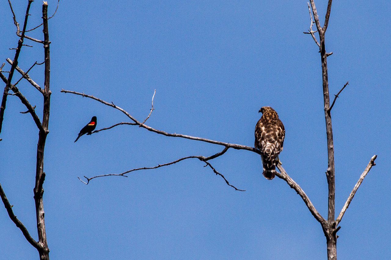 Red-winged Black Bird -vs - Red shouldered Hawk