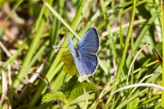 Eastern Tailed Blue 2