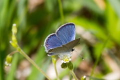 Eastern Tailed Blue 3
