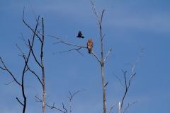 Red-winged Black Bird -vs - Red shouldered Hawk 2