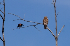 Red-winged Black Bird -vs - Red shouldered Hawk 3