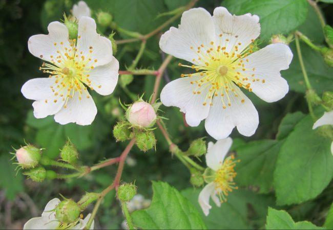 Invasive Multiflora Rose